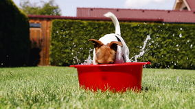 Jack Russell Terrier fools around digging the water out of a washbowl stock video