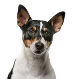 Jack Russell Terrier in front of a white backgroun Stock Image