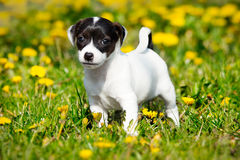 Jack russell terrier. In garden Royalty Free Stock Photography