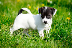 Jack russell terrier Royalty Free Stock Image