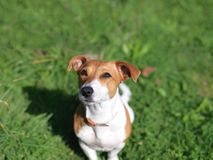 Jack russell with intent look. A jack russell terrier gazing while sitting on the grass, outdoor closeup royalty free stock photos