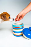 Jack Russell Terrier gets a Cookie from the Cookie Jar on white. Jack Russel gets a cookie form a colorful cookie jar.  Most of Jack Russell is off camera as the Royalty Free Stock Photo