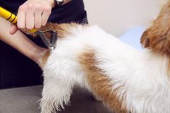 Jack Russell Terrier getting his hair cut Royalty Free Stock Images