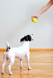 Dog going to play with ball Stock Photo