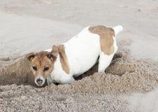 Jack Russell-Terrier gräbt Loch im Sand Stockbild