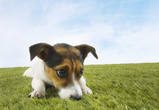 Jack Russell Terrier On Grass Foto de archivo