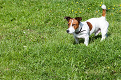 Jack Russell Terrier on a green lawn Stock Image