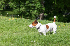 Jack Russell Terrier on a green lawn Royalty Free Stock Photo