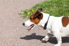 Jack Russell Terrier on a green lawn Stock Photography
