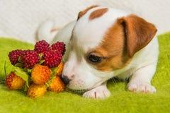 Jack Russell Terrier-Hündchen mit Beeren lizenzfreie stockfotos