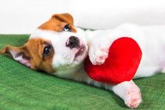 Jack Russell Terrier-H?ndchen mit rotem Herzen stockbild