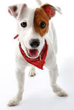 Jack Russell Terrier happy dog Stock Photos