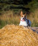 Jack Russell terrier on a haystack. A Jack Russell terrier lying on a haystack in afternoon light, looking towards the camera Stock Images
