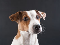 Jack Russell Terrier head. Young Jack Russell Terrier head on dark grey. No isolated royalty free stock photos