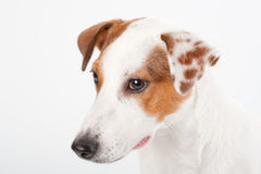 Jack Russell Terrier head. Closeup young Jack Russell Terrier head on white. No isolated royalty free stock image