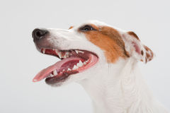 Jack Russell Terrier head. Closeup young Jack Russell Terrier head on white. No isolated stock photography