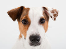Jack Russell Terrier head closeup. Closeup young Jack Russell Terrier head on white. No isolated stock photos