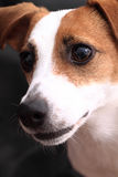 Jack russell terrier head. On the dark background royalty free stock images