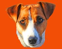 Jack Russell Terrier head on an orange background. Jack Russell Terrier head on background royalty free stock image