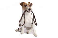 Jack russell terrier holding leach Royalty Free Stock Images