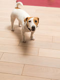 Jack Russell Terrier at home Royalty Free Stock Image