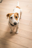 Jack Russell Terrier at home Stock Photo