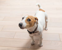 Jack Russell Terrier at home Royalty Free Stock Images
