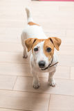 Jack Russell Terrier at home Stock Image