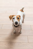Jack Russell Terrier at home Royalty Free Stock Photography