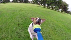 Jack Russell Terrier-hond die voor een bal springen stock footage