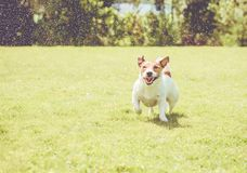 Dog with amusing squinting eyes playing under splashes of garden sprinkles Stock Photos