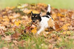 Jack Russell Terrier doggy is running over autumn leaves in a meadow stock photos