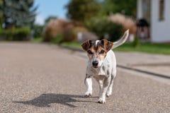 Jack Russell Terrier-Hund auf einer Straße im Wohngebiet lizenzfreie stockfotos