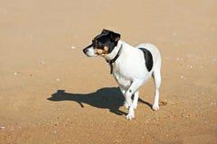Jack Russell Terrier-Hund auf Naturhintergrund lizenzfreies stockfoto