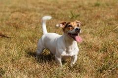 Jack Russell Terrier-Hund, der auf einen Befehl wartet Stockfoto