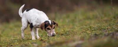 Jack Russell Terrier hund i skogen med näsan ner royaltyfria foton