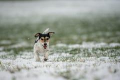 Jack Russell Terrier-Hund läuft über eine Wiese des verschneiten Winters stockbild