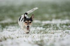 Jack Russell Terrier-Hund läuft über eine Wiese des verschneiten Winters stockfoto