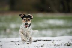 Jack Russell Terrier-Hund läuft über einen Weg des verschneiten Winters stockbild