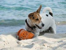 Jack Russell Terrier hund som spelar med skon Fotografering för Bildbyråer