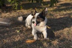 Jack Russell Terrier-Hundefoto stockbild