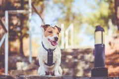 Jack Russell Terrier-Hundetragendes Geschirr, das auf Leitertreppe am Gebirgspark Zypern sitzt stockbilder