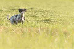 Tense and curious jack russell terrier hunting dog is sitting in a meadow stock photo