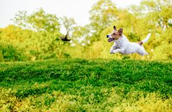 Playing off leash dog chasing bird in park. Jack Russell Terrier hunting on starling bird Royalty Free Stock Photos
