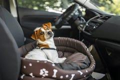 Jack Russell Terrier i dagdrivarehundsäng Husdjuret som tycker om en bilritt fotografering för bildbyråer