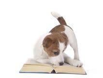 Jack Russell Terrier i studion på en vit bakgrund Arkivbild