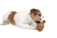 Jack Russell Terrier i studion på en vit bakgrund Royaltyfri Bild