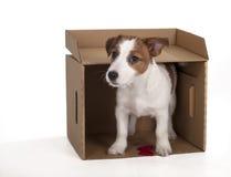 Jack Russell Terrier i studion på en vit bakgrund Arkivfoto