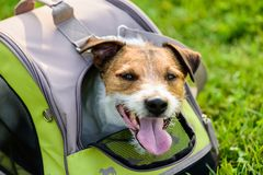 Happy dog looking out of mesh window of traveler pet carrier bag. Jack Russell Terrier inside pet tote on green grass Royalty Free Stock Images