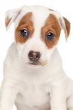 Jack Russell terrier isolated on white background Stock Image